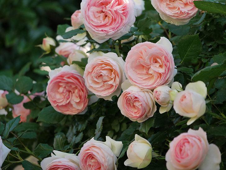 ピエール・ドゥ・ロンサール(ツルバラ)の花が満開になった。2020年-7.jpg