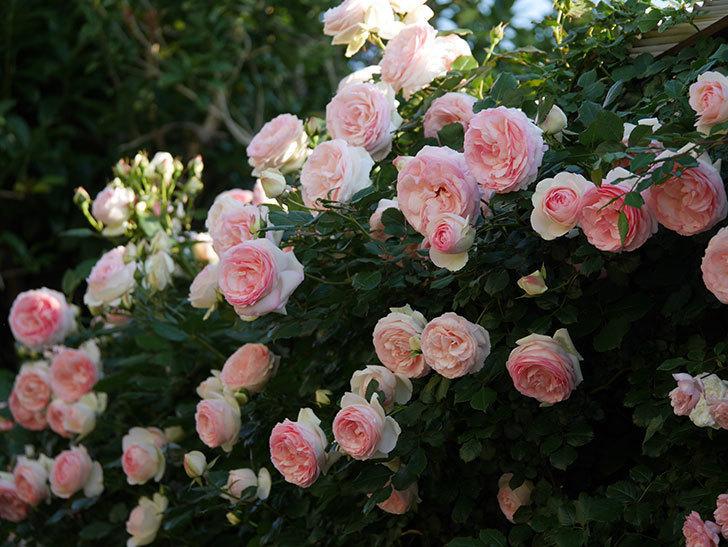 ピエール・ドゥ・ロンサール(ツルバラ)の花が満開になった。2020年-8.jpg