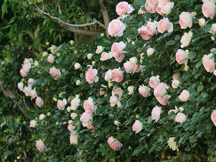 ピエール・ドゥ・ロンサール(ツルバラ)の花が満開になった。2020年-9.jpg