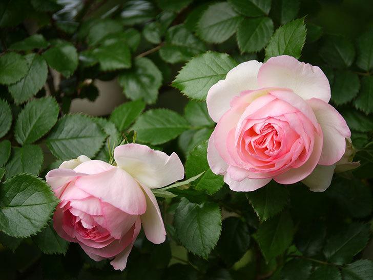 ピエール・ドゥ・ロンサール(ツルバラ)の花が良い感じで咲いている。2018年-1.jpg