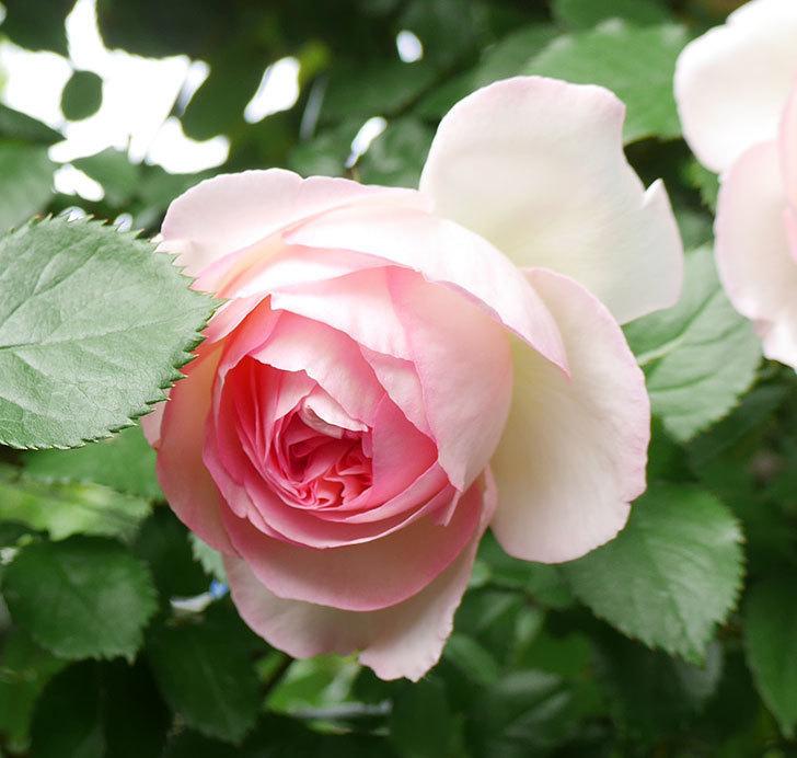 ピエール・ドゥ・ロンサール(ツルバラ)の花が良い感じで咲いている。2018年-10.jpg