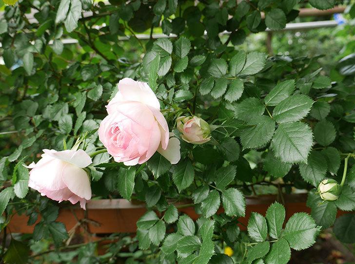ピエール・ドゥ・ロンサール(ツルバラ)の花が良い感じで咲いている。2018年-11.jpg