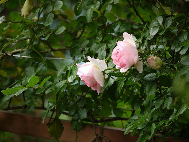 ピエール・ドゥ・ロンサール(ツルバラ)の花が良い感じで咲いている。2018年-5.jpg