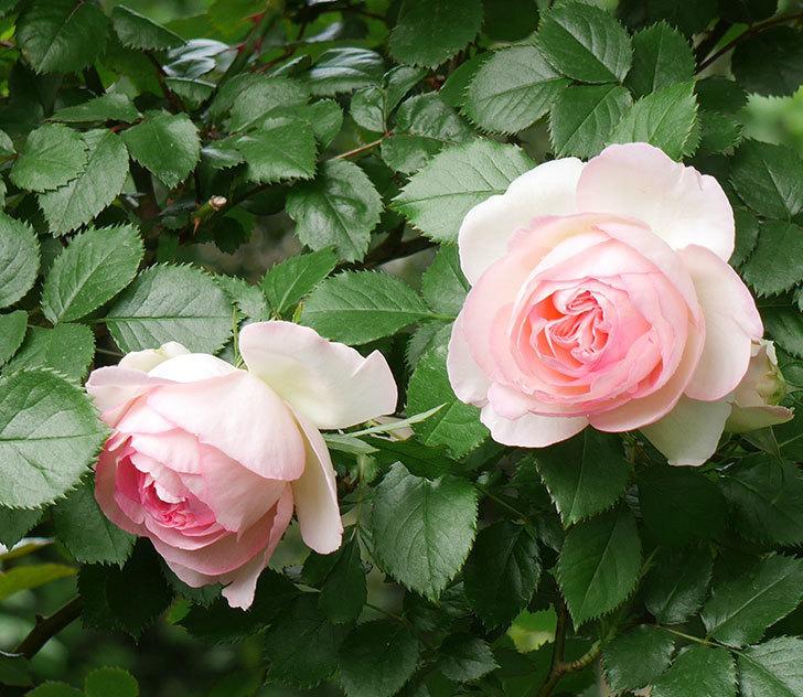 ピエール・ドゥ・ロンサール(ツルバラ)の花が良い感じで咲いている。2018年-6.jpg
