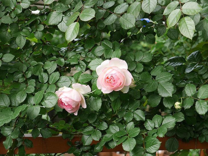 ピエール・ドゥ・ロンサール(ツルバラ)の花が良い感じで咲いている。2018年-7.jpg