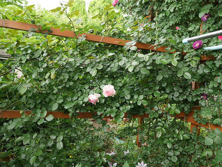 ピエール・ドゥ・ロンサール(ツルバラ)の花が良い感じで咲いている。2018年-8.jpg