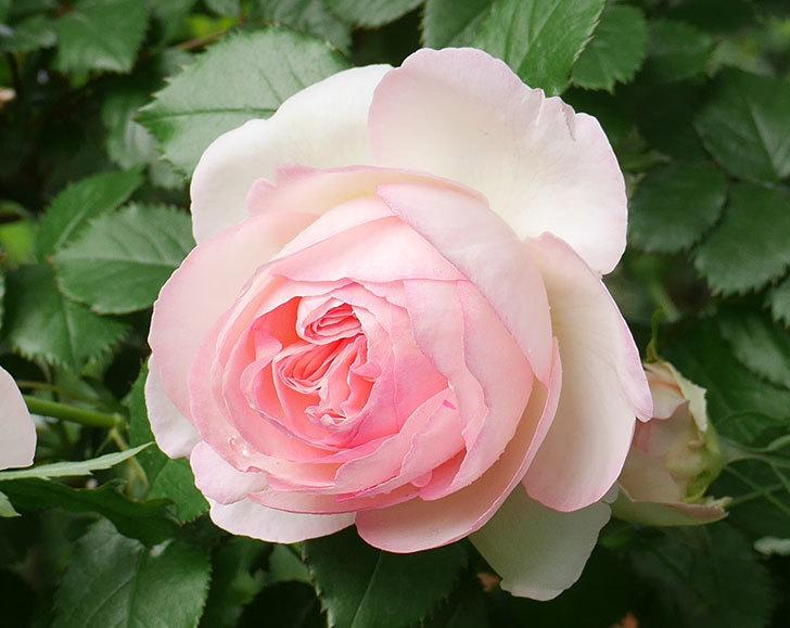 ピエール・ドゥ・ロンサール(ツルバラ)の花が良い感じで咲いている。2018年-9.jpg