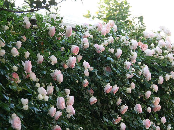 ピエール・ドゥ・ロンサール(ツルバラ)の花が開いてピンクになってきた。2020年-001.jpg