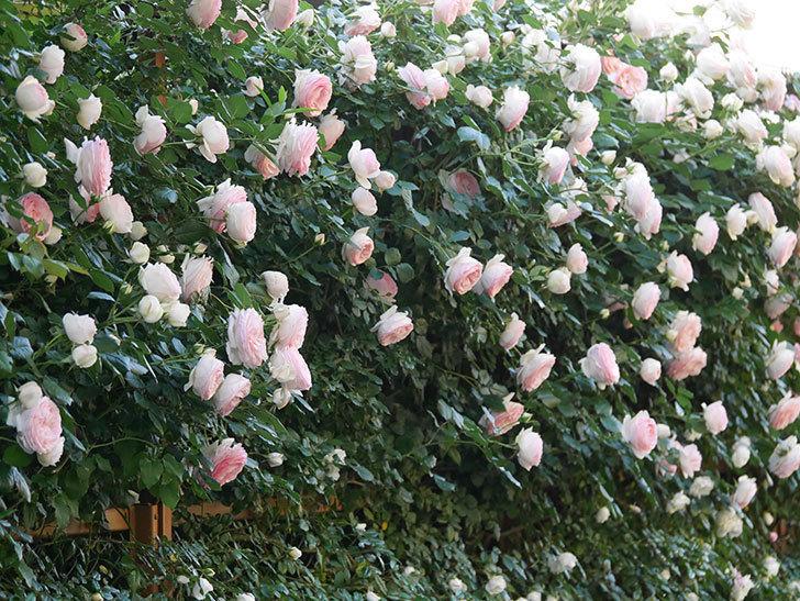 ピエール・ドゥ・ロンサール(ツルバラ)の花が開いてピンクになってきた。2020年-002.jpg