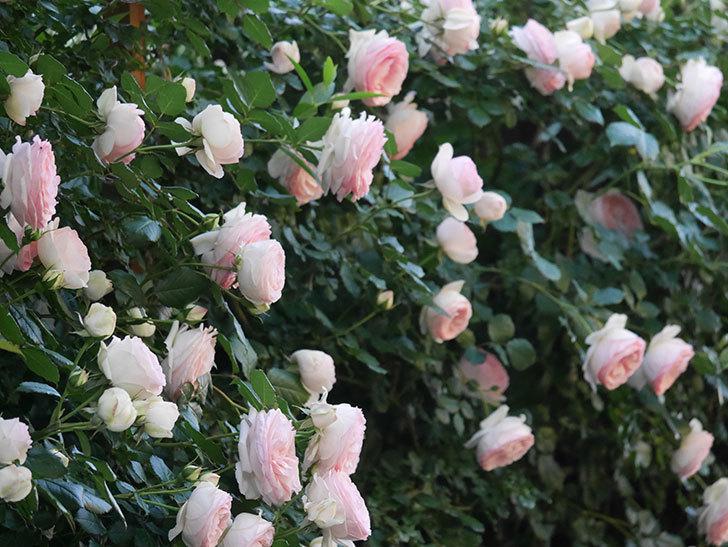 ピエール・ドゥ・ロンサール(ツルバラ)の花が開いてピンクになってきた。2020年-003.jpg