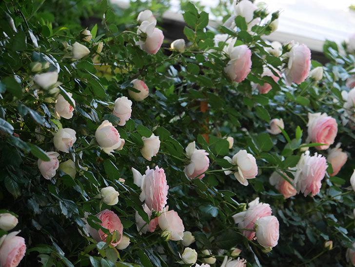 ピエール・ドゥ・ロンサール(ツルバラ)の花が開いてピンクになってきた。2020年-004.jpg
