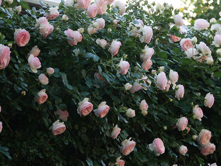 ピエール・ドゥ・ロンサール(ツルバラ)の花が開いてピンクになってきた。2020年-005.jpg