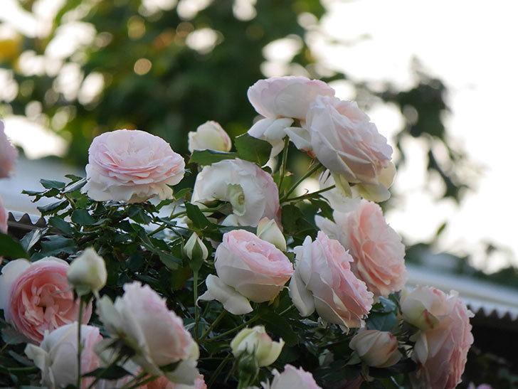 ピエール・ドゥ・ロンサール(ツルバラ)の花が開いてピンクになってきた。2020年-006.jpg