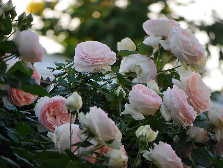 ピエール・ドゥ・ロンサール(ツルバラ)の花が開いてピンクになってきた。2020年-007.jpg