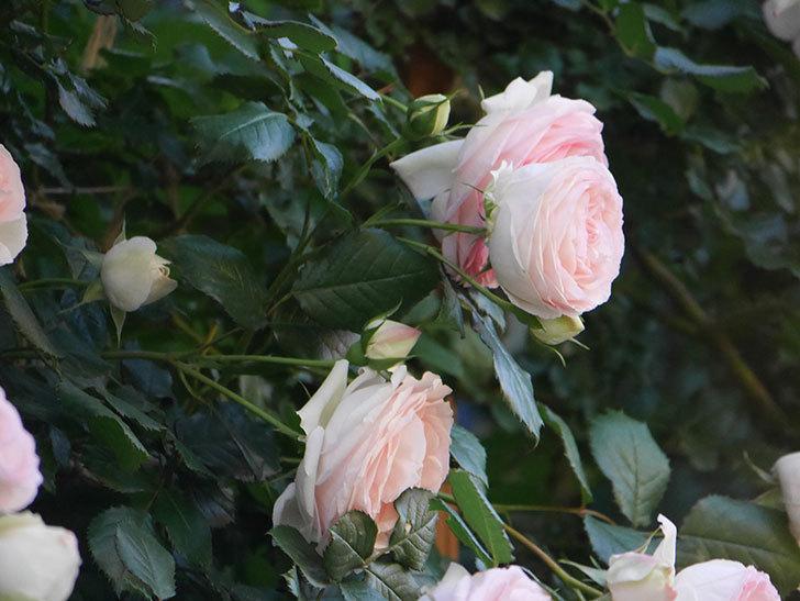 ピエール・ドゥ・ロンサール(ツルバラ)の花が開いてピンクになってきた。2020年-009.jpg