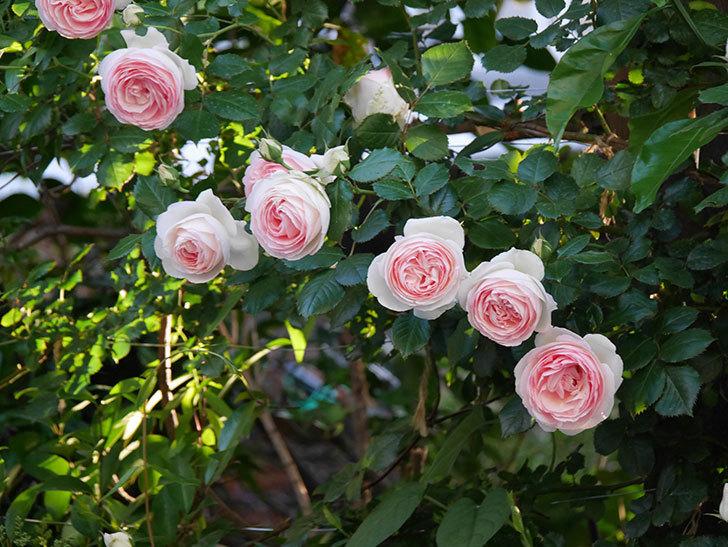 ピエール・ドゥ・ロンサール(ツルバラ)の花が開いてピンクになってきた。2020年-010.jpg