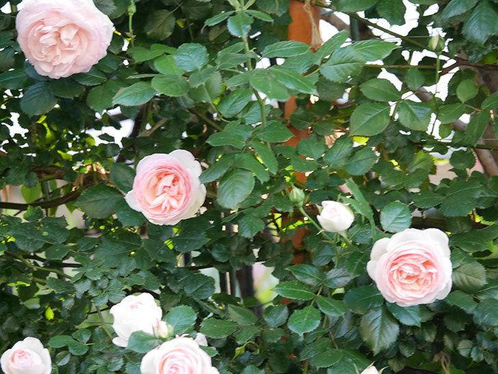 ピエール・ドゥ・ロンサール(ツルバラ)の花が開いてピンクになってきた。2020年-011.jpg
