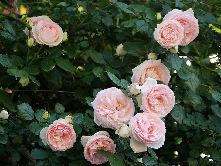 ピエール・ドゥ・ロンサール(ツルバラ)の花が開いてピンクになってきた。2020年-012.jpg
