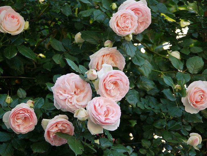 ピエール・ドゥ・ロンサール(ツルバラ)の花が開いてピンクになってきた。2020年-013.jpg