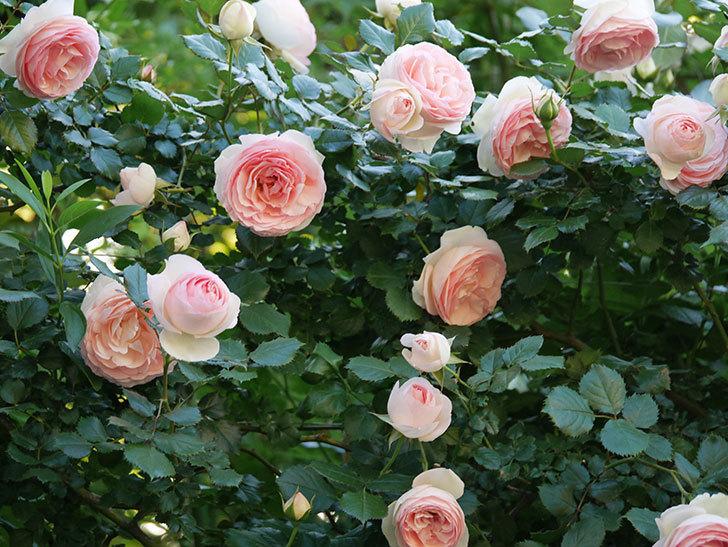 ピエール・ドゥ・ロンサール(ツルバラ)の花が開いてピンクになってきた。2020年-014.jpg