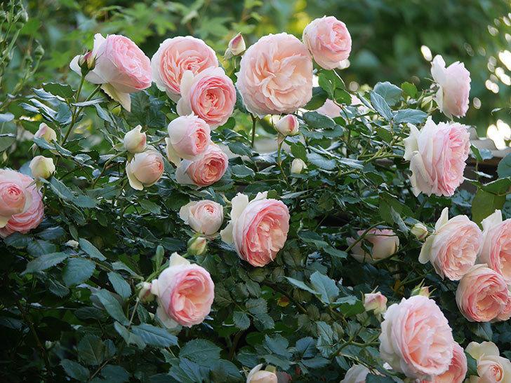 ピエール・ドゥ・ロンサール(ツルバラ)の花が開いてピンクになってきた。2020年-015.jpg