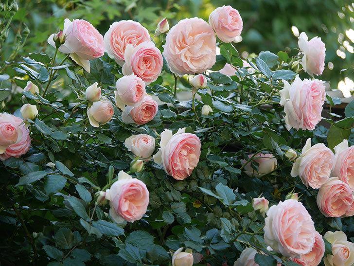 ピエール・ドゥ・ロンサール(ツルバラ)の花が開いてピンクになってきた。2020年-016.jpg