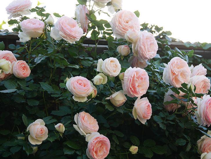 ピエール・ドゥ・ロンサール(ツルバラ)の花が開いてピンクになってきた。2020年-017.jpg