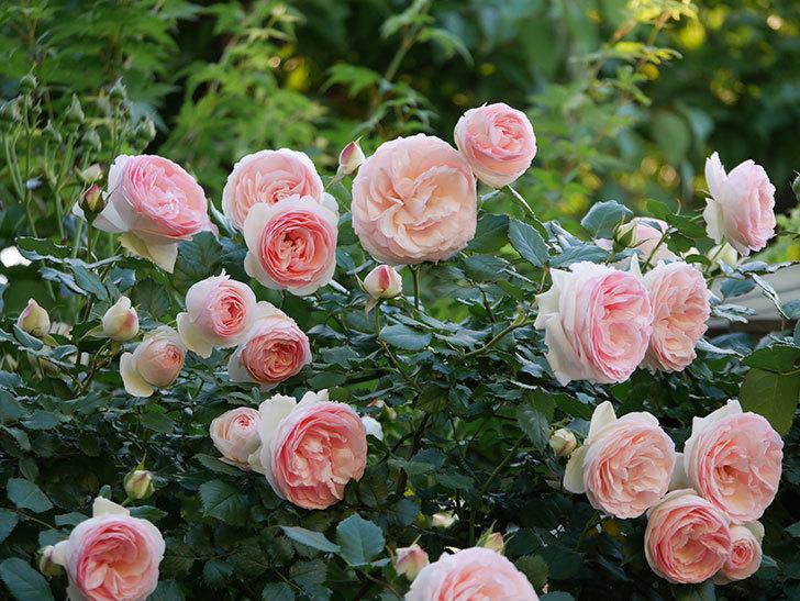 ピエール・ドゥ・ロンサール(ツルバラ)の花が開いてピンクになってきた。2020年-019.jpg