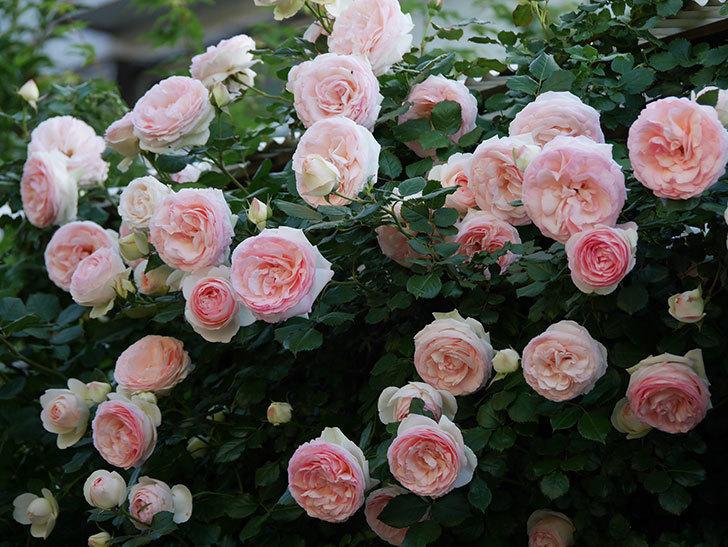 ピエール・ドゥ・ロンサール(ツルバラ)の花が開いてピンクになってきた。2020年-022.jpg