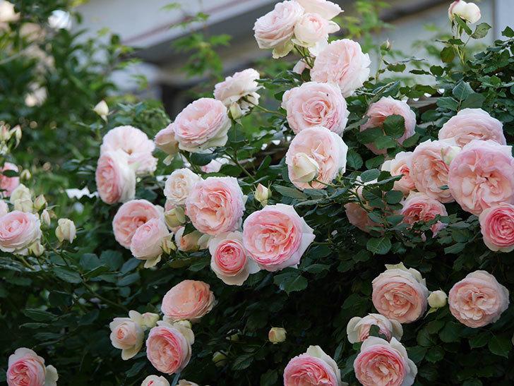 ピエール・ドゥ・ロンサール(ツルバラ)の花が開いてピンクになってきた。2020年-023.jpg