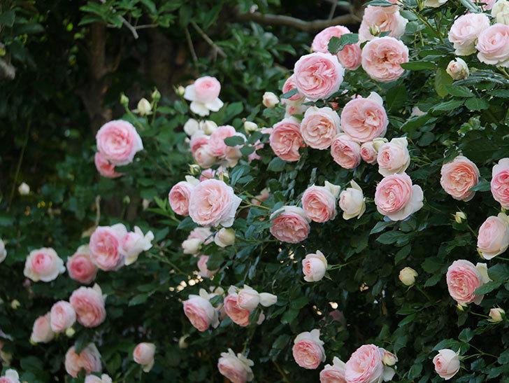 ピエール・ドゥ・ロンサール(ツルバラ)の花が開いてピンクになってきた。2020年-024.jpg