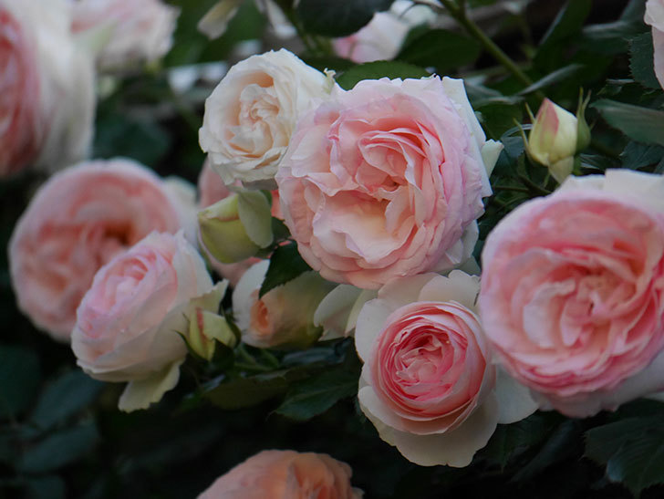 ピエール・ドゥ・ロンサール(ツルバラ)の花が開いてピンクになってきた。2020年-025.jpg