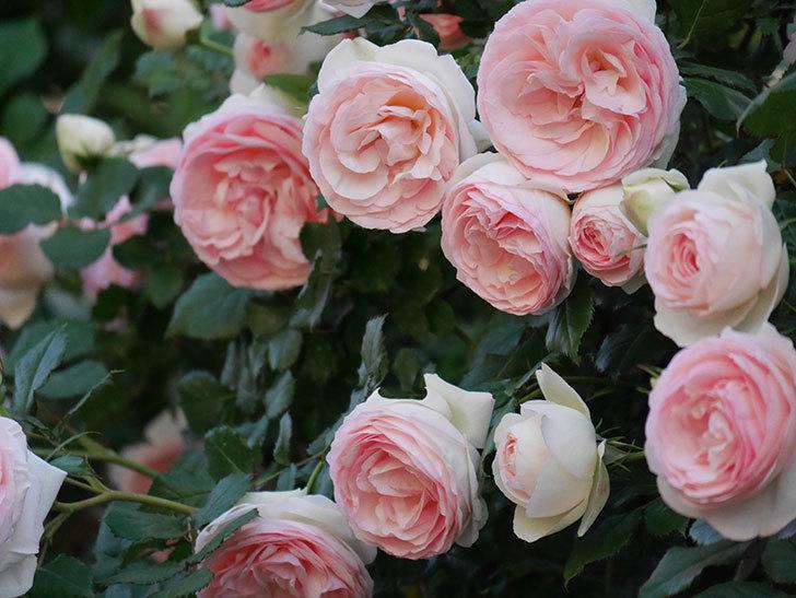 ピエール・ドゥ・ロンサール(ツルバラ)の花が開いてピンクになってきた。2020年-026.jpg