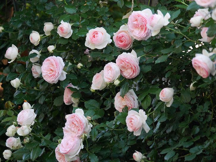 ピエール・ドゥ・ロンサール(ツルバラ)の花が開いてピンクになってきた。2020年-027.jpg