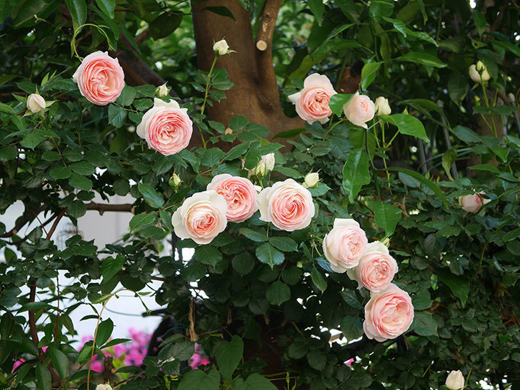 ピエール・ドゥ・ロンサール(ツルバラ)の花が開いてピンクになってきた。2020年-028.jpg
