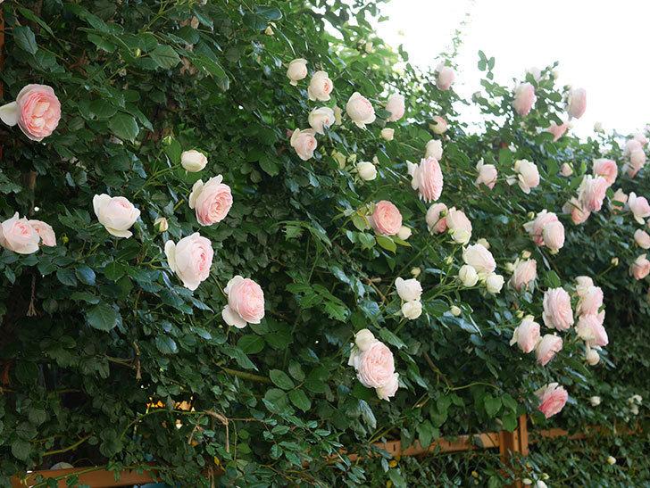 ピエール・ドゥ・ロンサール(ツルバラ)の花が開いてピンクになってきた。2020年-029.jpg