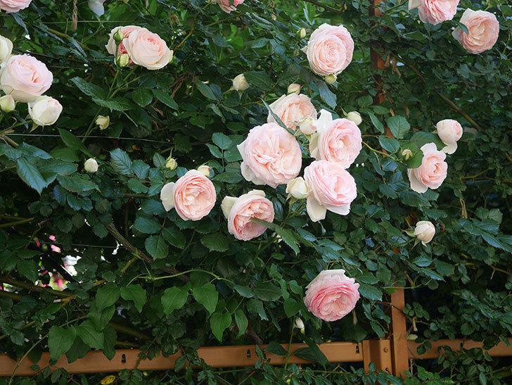 ピエール・ドゥ・ロンサール(ツルバラ)の花が開いてピンクになってきた。2020年-030.jpg