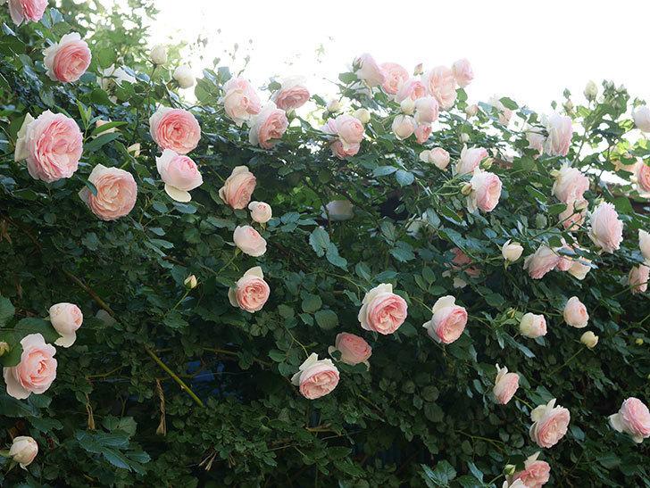 ピエール・ドゥ・ロンサール(ツルバラ)の花が開いてピンクになってきた。2020年-031.jpg