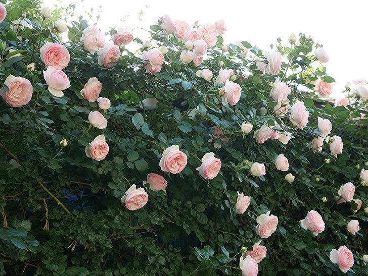 ピエール・ドゥ・ロンサール(ツルバラ)の花が開いてピンクになってきた。2020年-032.jpg