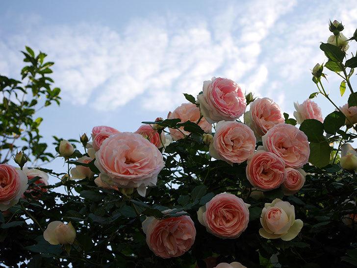 ピエール・ドゥ・ロンサール(ツルバラ)の花が開いてピンクになってきた。2020年-033.jpg