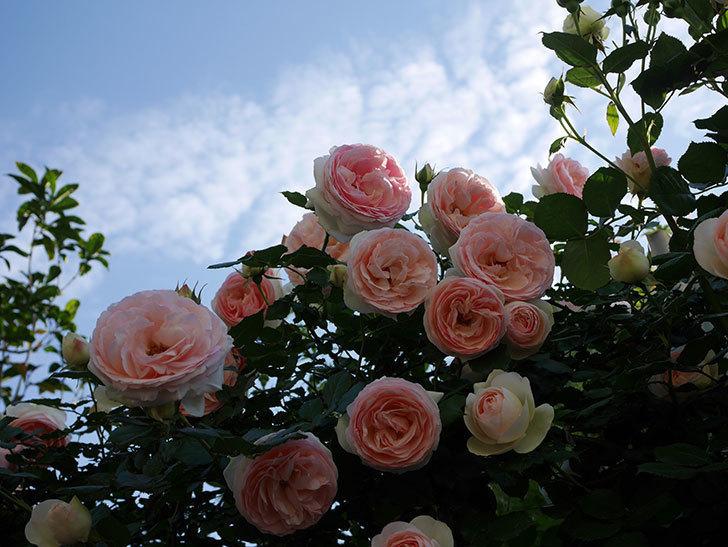 ピエール・ドゥ・ロンサール(ツルバラ)の花が開いてピンクになってきた。2020年-034.jpg