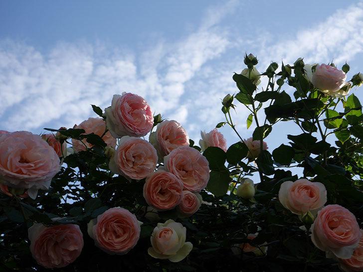 ピエール・ドゥ・ロンサール(ツルバラ)の花が開いてピンクになってきた。2020年-035.jpg