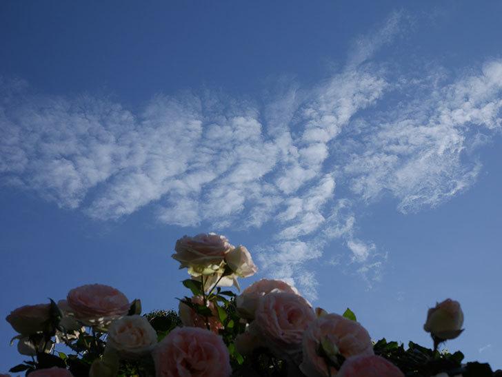 ピエール・ドゥ・ロンサール(ツルバラ)の花が開いてピンクになってきた。2020年-036.jpg