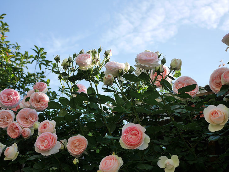 ピエール・ドゥ・ロンサール(ツルバラ)の花が開いてピンクになってきた。2020年-037.jpg