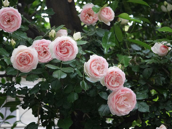 ピエール・ドゥ・ロンサール(ツルバラ)の花が開いてピンクになってきた。2020年-038.jpg