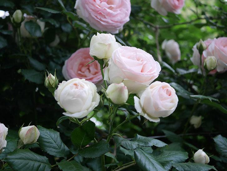 ピエール・ドゥ・ロンサール(ツルバラ)の花が開いてピンクになってきた。2020年-039.jpg