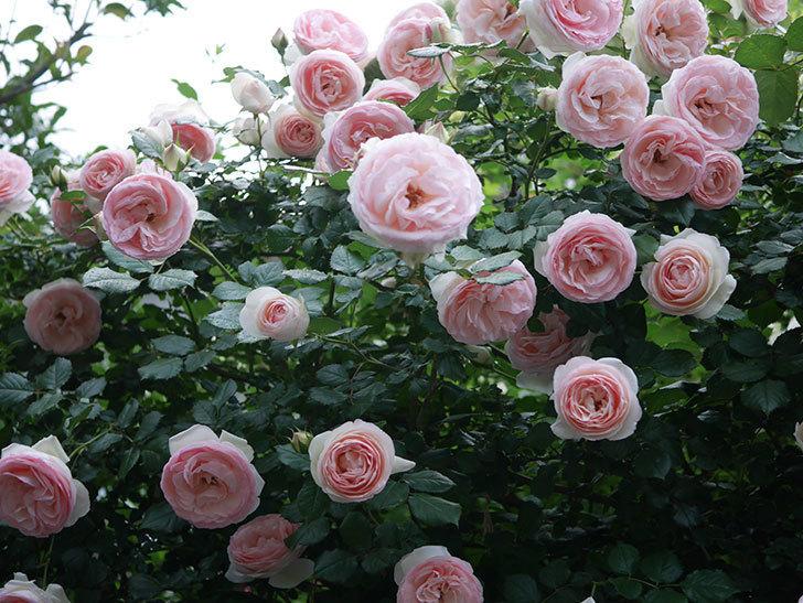 ピエール・ドゥ・ロンサール(ツルバラ)の花が開いてピンクになってきた。2020年-041.jpg