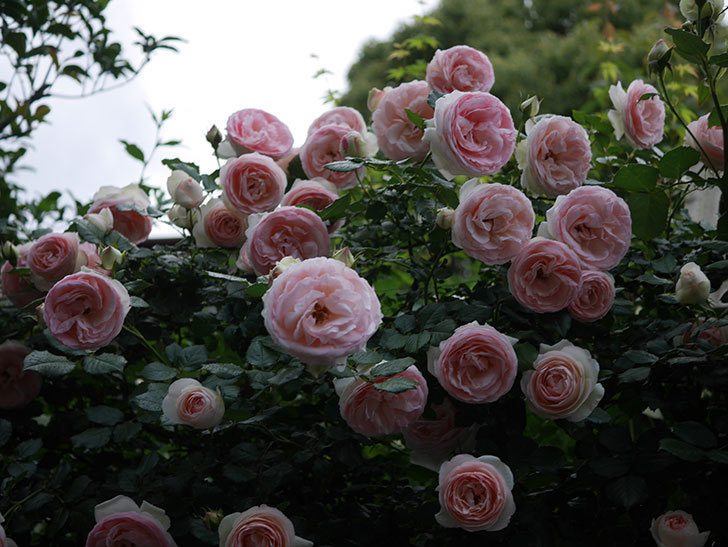 ピエール・ドゥ・ロンサール(ツルバラ)の花が開いてピンクになってきた。2020年-042.jpg