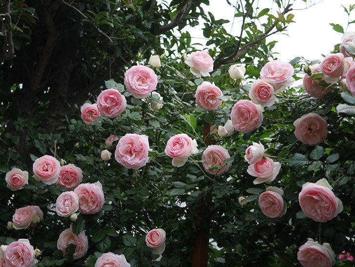 ピエール・ドゥ・ロンサール(ツルバラ)の花が開いてピンクになってきた。2020年-043.jpg