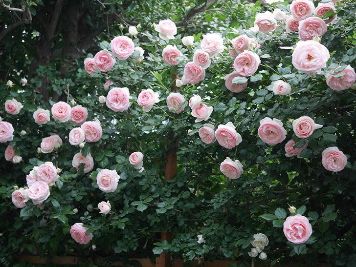 ピエール・ドゥ・ロンサール(ツルバラ)の花が開いてピンクになってきた。2020年-045.jpg